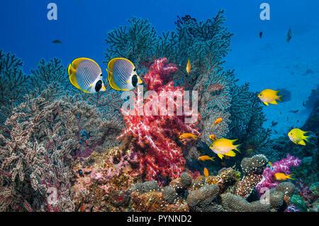 Coral reef scenery with Panda butterflyfish [Chaetodon adiergastos], Golden damselfish [Amblyglyphidodon aureus] swimming over soft corals [Dendroneph - Stock Photo
