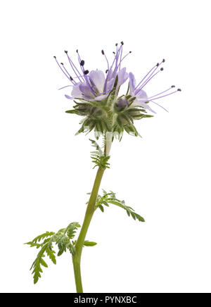 lacy phacelia, blue tansy or purple tansy isolated on white background - Stock Photo