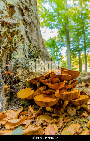impressive image of orange fungi at the base of a trunk on an autumn day in the forest in Spaubeek in South Limburg in the Netherlands Holland, copy s - Stock Photo