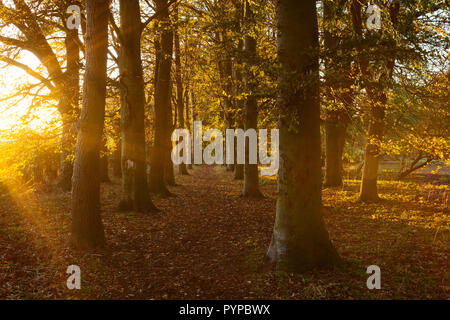 Barton-upon-Humber, North Lincolnshire, UK. 29th Oct, 2018. UK Weather: Late evening light on Beech Trees in Baysgarth Park in Autumn. Barton-upon-Humber, North Lincolnshire, UK. 29th Oct, 2018. Credit: LEE BEEL/Alamy Live News - Stock Photo