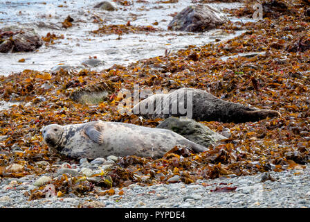 Grey seal cow Halichoerus grypus looking at the camera while a bull dozes on kelp strewn beach on Lundy Island off the Atlantic coast of north Devon - Stock Photo
