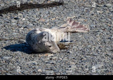 Grey seal pup Halichoerus grypus on a shingle beach on Lundy Island off the Atlantic coast of north Devon - Stock Photo
