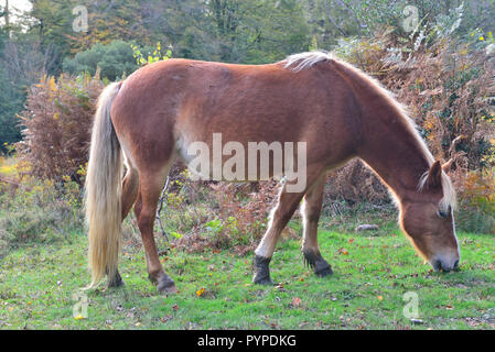 The New Forest pony is one of the recognised mountain and moorland or native pony breeds of the British Isles. - Stock Photo