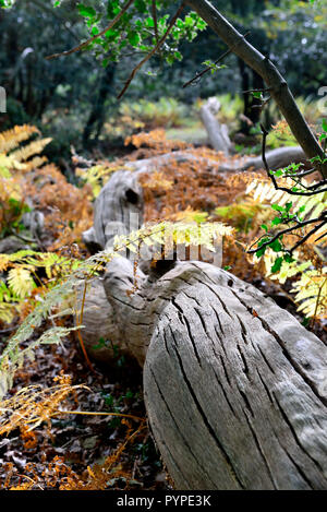 woodland scene of ancient oaks and beech trees ,living and fallen in the new forest - Stock Photo