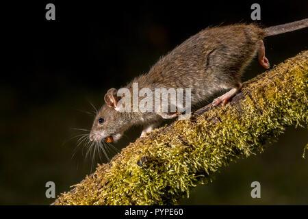 Wild Brown rat (Rattus norvegicus) running on log with stolen nut at night. High speed photography image - Stock Photo