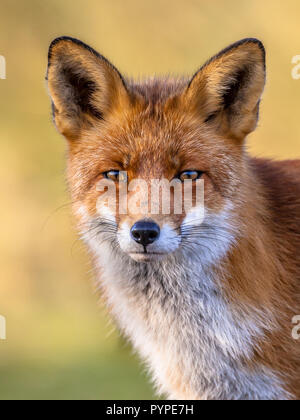Portrait  head of Red Fox male (Vulpes vulpes)  in natural environment with yellow background. The beautiful wild animal of the wilderness. Shred look - Stock Photo