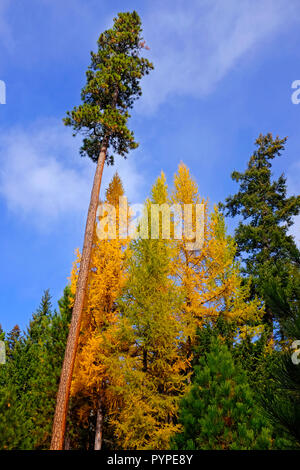 A mixture of Western Larch trees, Larix occidentalis, and Ponderosa pine trees in the Deschutes National Forest in Oregon. Large trees turns gold in t - Stock Photo