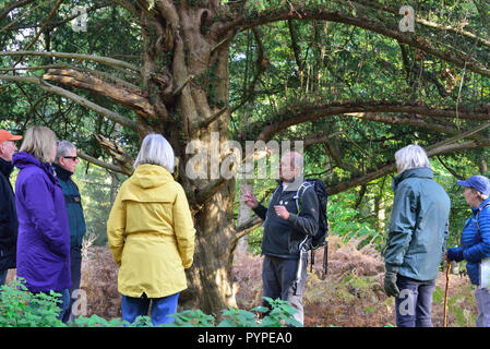 Official Guide on the New Forest National Park walking -festival explaining the ancient yew tree to  walkers on  route to Whitefield Moor - Stock Photo