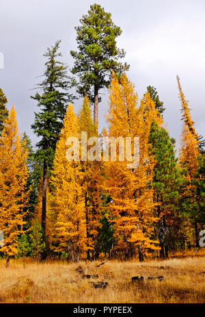 Western Larch trees, Larix occidentalis, turn gold in the fall just before losing their needles for the winter. They are the only evergreen tree that  - Stock Photo