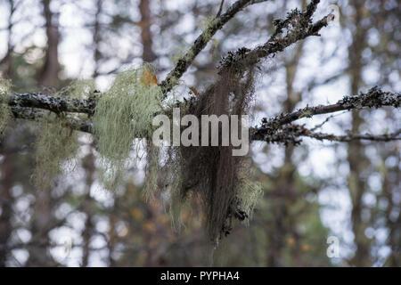 Old Man's Beard Lichen, growing on a silver birch tree in Glen Affric, Highland, Scotland - Stock Photo