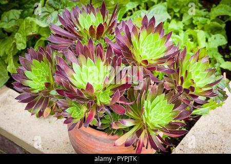 Aeonium Torchbearer growing in a terracotta pot - Stock Photo