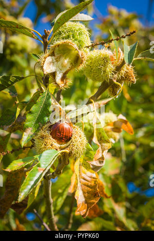 Ripe sweet chestnuts burst through their cases while still hanging on the tree in October in Wiltshire England UK - Stock Photo