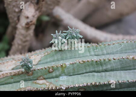 Cute little tiny baby euphorbia desert plants growing on the Mommy cactus at the Garfield Park Conservatory in Chicago, Illinois, USA. - Stock Photo