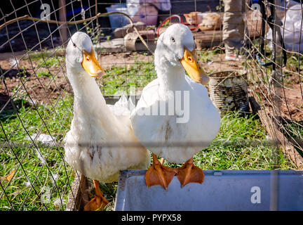Two white Pekin ducks, Yin and Yang, sit in a cage, Oct. 21, 2018, in Grand Ridge, Florida. - Stock Photo
