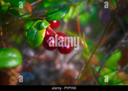 Ripe lingonberries close-up in the forest in late summer natural background - Stock Photo