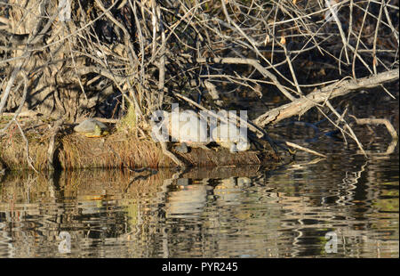 Western painted turtles or Chrysemys picta sunbathing in last late afternoon autumn light on shore of lake island - Stock Photo