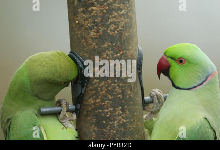 Two stunning Ring-necked Parakeet (Psittacula krameri) feeding from a seed bird feeder in the UK. - Stock Photo