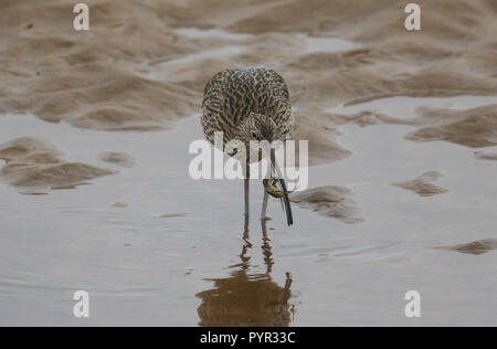 A beautiful Curlew (Numenius arquata)  eating a crab which it has just caught in a coastal sea estuary in Scotland. - Stock Photo