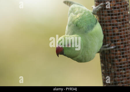A pretty ring-necked, or rose-ringed Parakeet feeding from a seed feeder. It is the UK's most abundant naturalised parrot. - Stock Photo