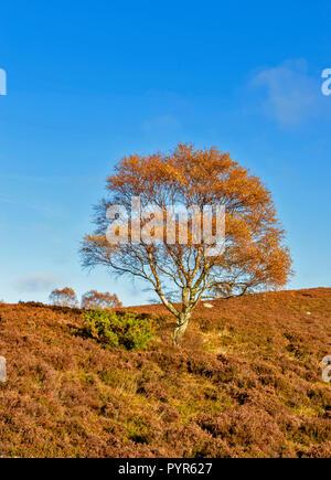 SILVER BIRCH TREE BETULA PENDULA  SCOTLAND WITH HEATHER  ON A CALM DAY IN AUTUMN - Stock Photo