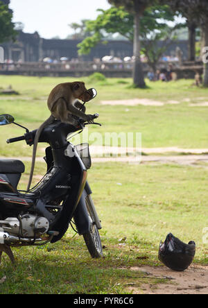 Fine Long Tailed Macaque Monkey at Angkor Wat in Cambodia - Stock Photo