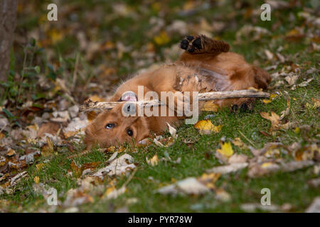 A golden retriever puppy laying on his back while chewing a stick. - Stock Photo
