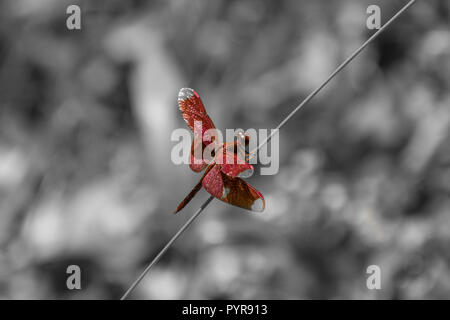 Red dragon fly sitting on straw in front of black and white background