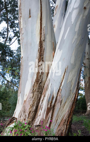 Eucalyptus tree bark. - Stock Photo