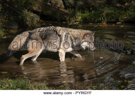 Timber Wolf (also known as a Gray Wolf or Grey Wolf) with water dripping from its muzzle, walking in the water, casting a reflection - Stock Photo