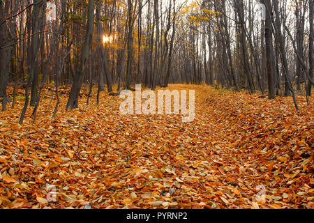 Cut-through in the fall hornbeam wood, lined with dead leaves yellow and red colors. Light sun goes down, enlightened through bare trees - Stock Photo