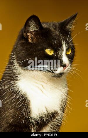 portrait of a domestic Bicolor or Tuxedo cat outdoor - Stock Photo