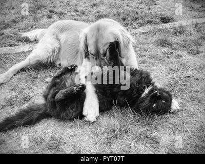 Golden dog play with black cat in the green grass. Friends play and caress - Stock Photo