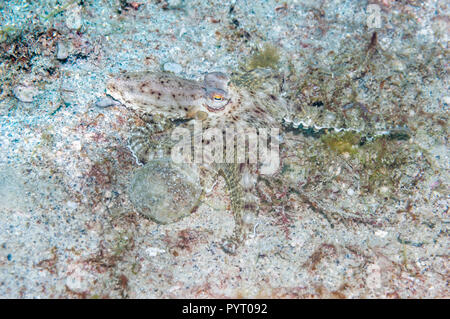 Long-armed octopus.  Puerto Galera, Philippines. - Stock Photo