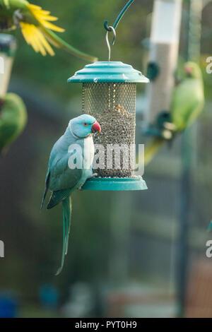 Rose-ringed or ring-necked parakeet (Psittacula krameri), blue mutation on bird feeder in garden.  London, UK. - Stock Photo