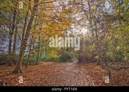 A path though the woods in autumn.  Orange and brown leaves carpet the ground and sunlight filters through the tree-tops. - Stock Photo