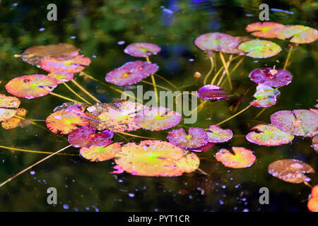 Picturesque leaves of water lilies on the water in a pond, autumn season - Stock Photo