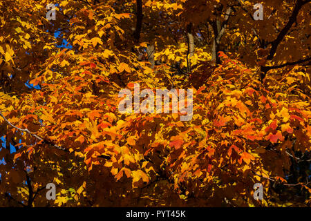 red and yellow maple leafs bursting with fall colors Stock Photo