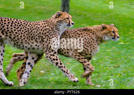 Two cheetahs running on grass. Beautiful animals known for their speeds when they run. Great hunters that are from the African continent. - Stock Photo
