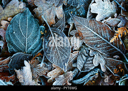 Detailed close up of frozen leaf early in the morning in winter, background - Stock Photo
