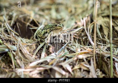 Black-spotted Pond Frog on bamboo leaves - Stock Photo