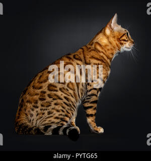Handsome shiny young adult male Bengal cat, sitting side wayss, looking straight ahead / profile isolated on black background - Stock Photo