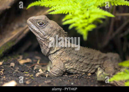 Tuatara, the living fossil, is a native and endemic reptile in new zealand. Animal in natural environment - Stock Photo