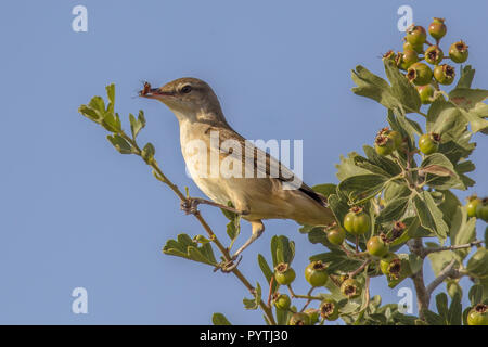 Olive-tree warbler (Hippolais olivetorum) with insect prey on migration on Cyprus island - Stock Photo
