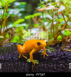 yellow poison dart frog a dangerous small poisonous frog from america macro closeup - Stock Photo