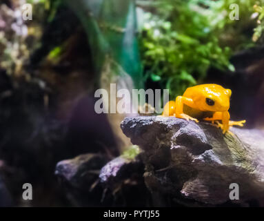 Yellow poison dart frog sitting on a branch very dangerous poisonous small tiny amphibian from america - Stock Photo