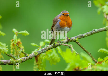 Red robin (Erithacus rubecula) perched on a fresh flowering oak branch as a concept for spring. - Stock Photo