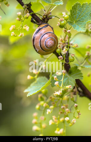 Cosy Garden scene with Grove snail (Cepaea nemoralis) in berry plant (Ribes rubrum) - Stock Photo