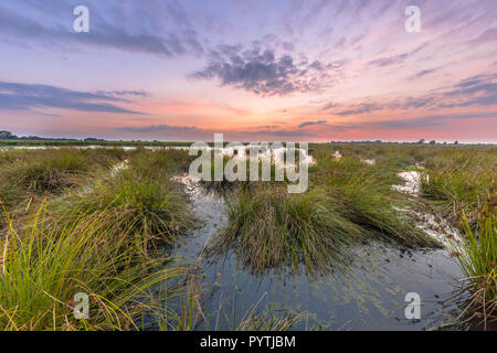 Large clumps of Soft rush (Juncus effusus) growing in reflecting water of Peizermaden Wetland water management area near Groningen, Netherlands - Stock Photo