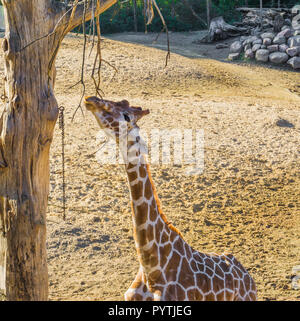 giraffe reaching with his long neck and eating from a tree branch african savanna animal portrait - Stock Photo