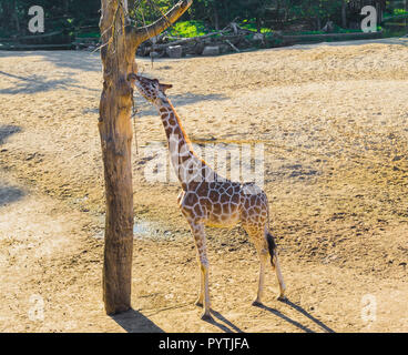 savanna animal portrait of a giraffe reaching and eating from a branch in a tree - Stock Photo